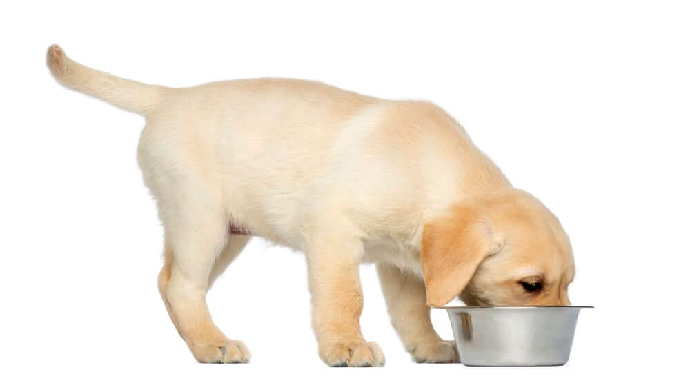 Labrador Retriever Puppy standing and eating from his dog bowl