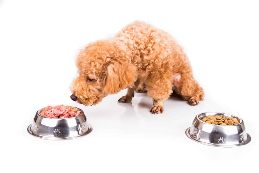 Poodle dog choosing between raw meat or kibble