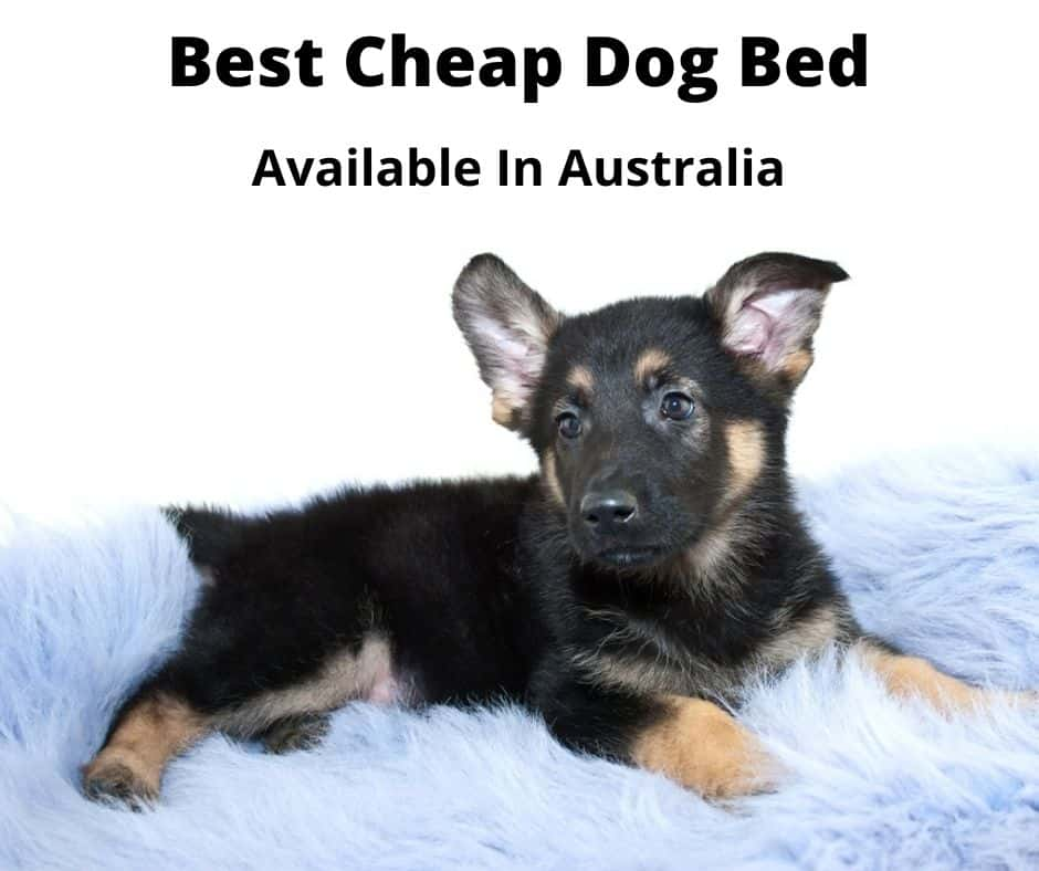 german shepherd puppy in dog bed