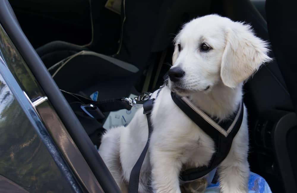 labrador puppy using a dog seatbelt harness