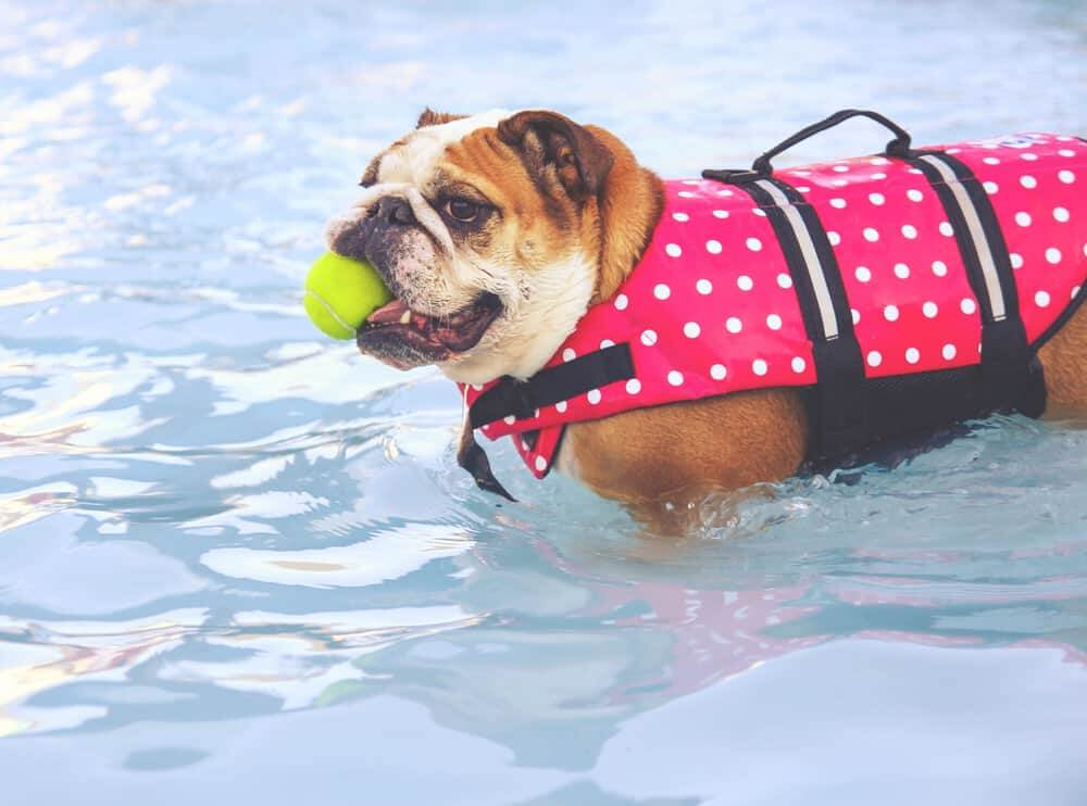 a bulldog in a life vest at a pool