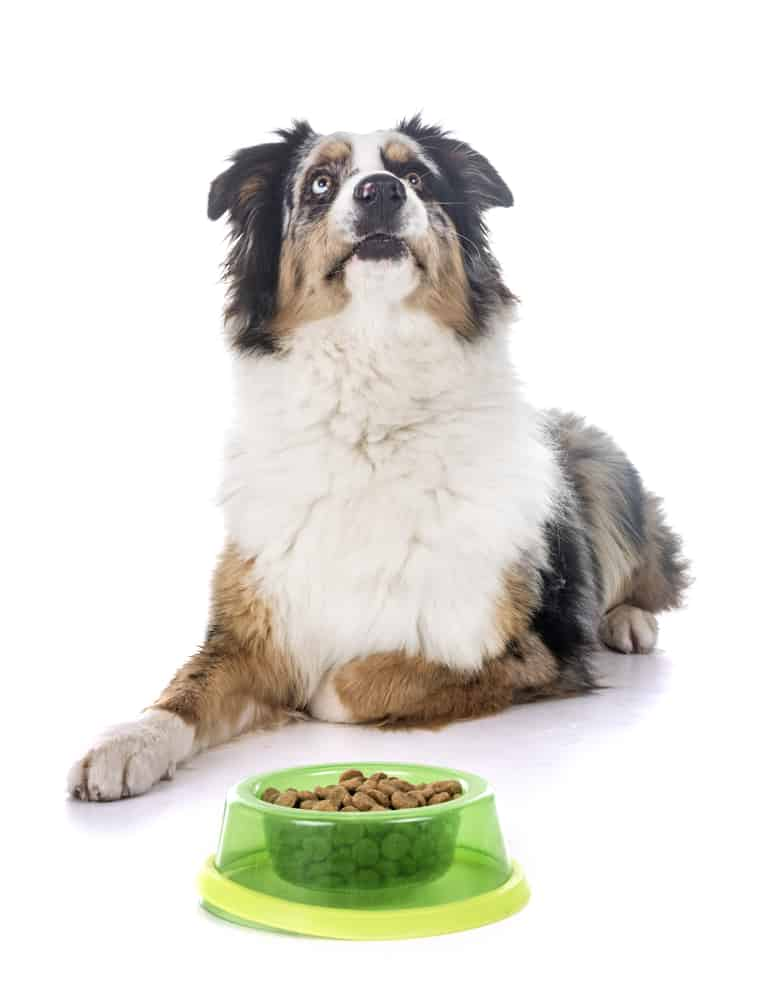 australian shepherd eating