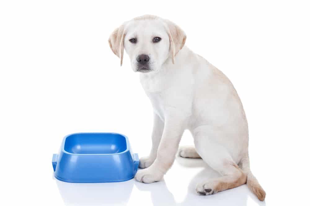 hungry Labrador retriever puppy