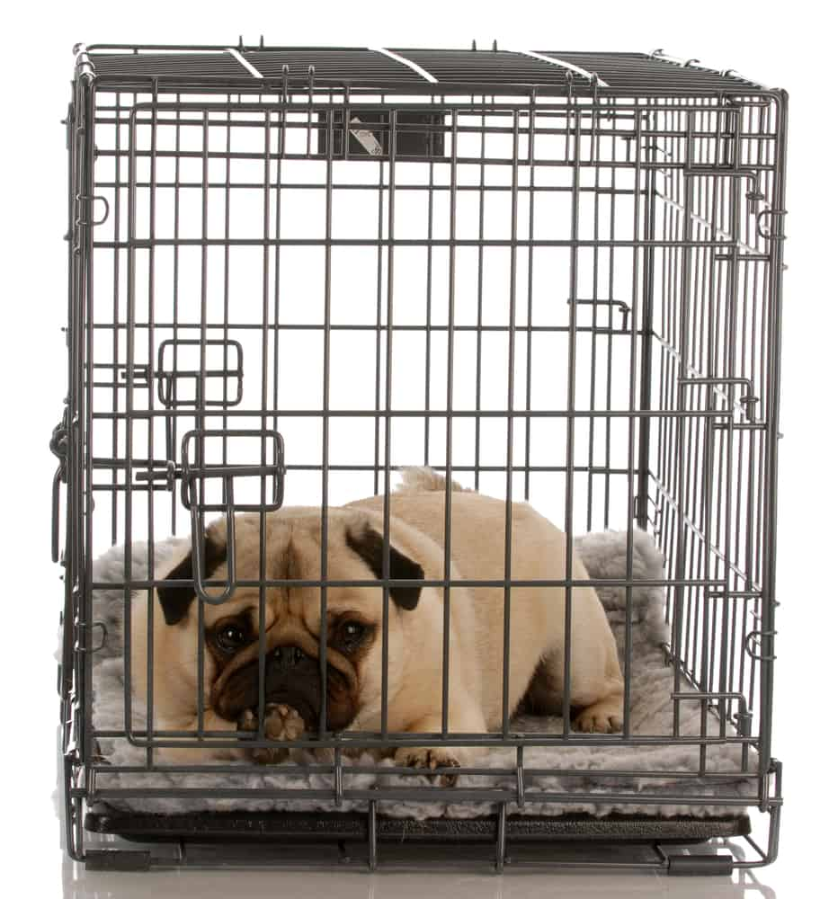 pug in a wire crate