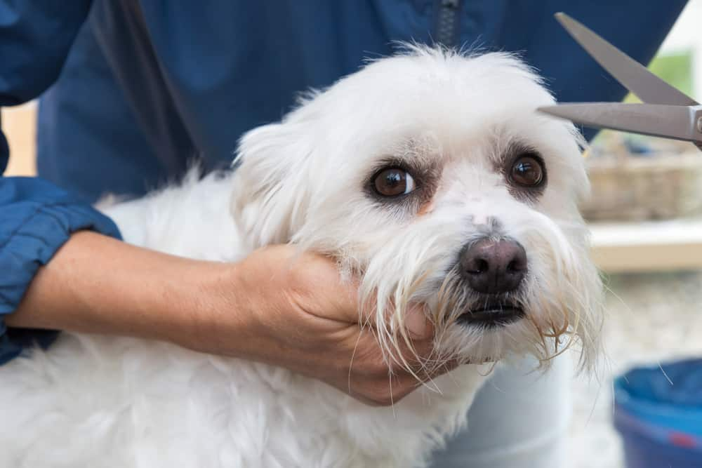 Trimming the white Maltese dog