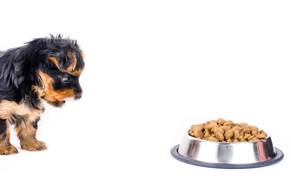 Yorkshire terrier puppy and plate with dog food