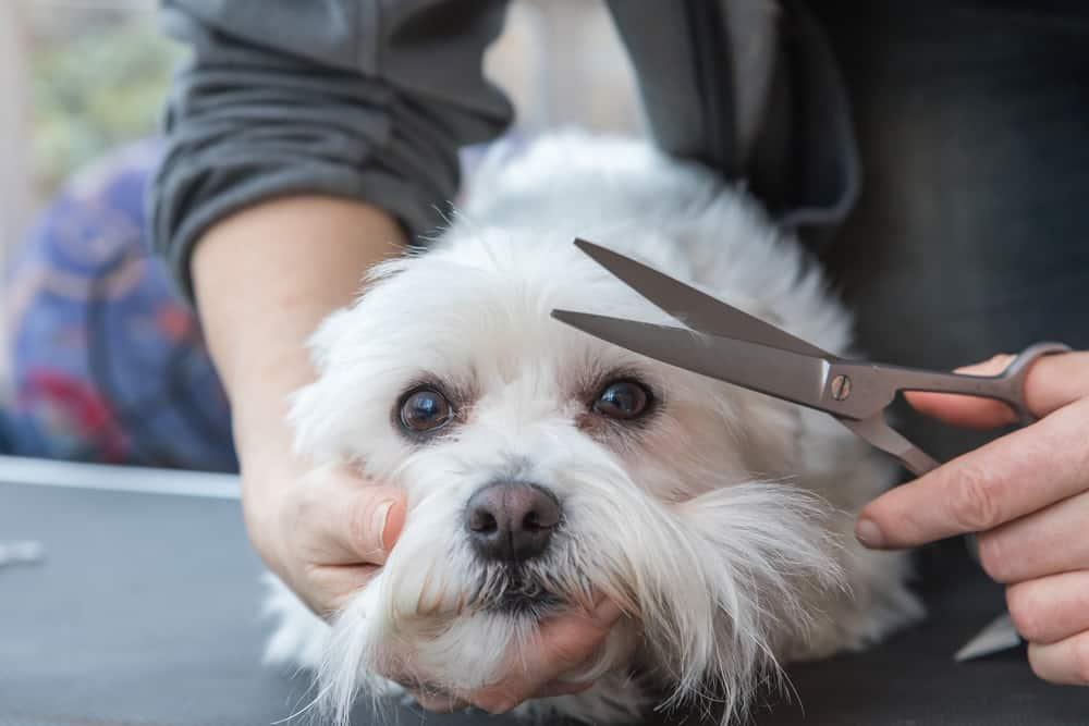 Grooming fringe of white dog