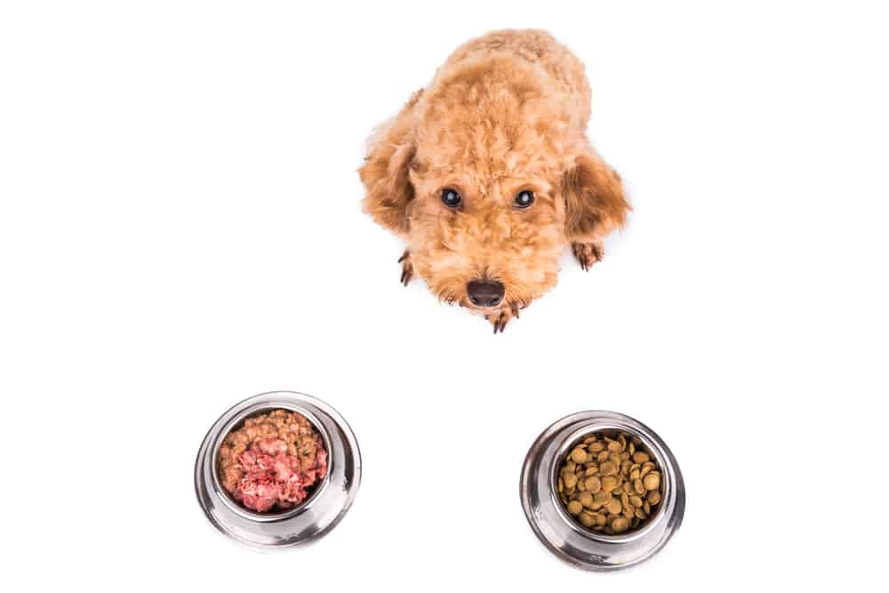 Poodle dog choosing between raw and dry dog food