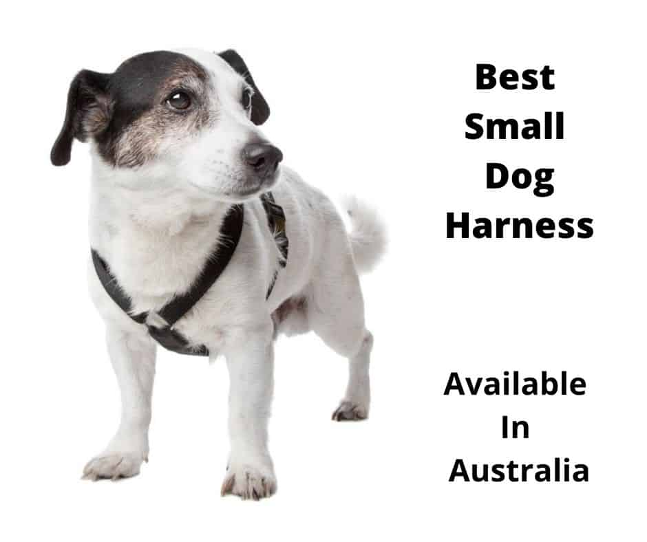 jack russell wearing a harness