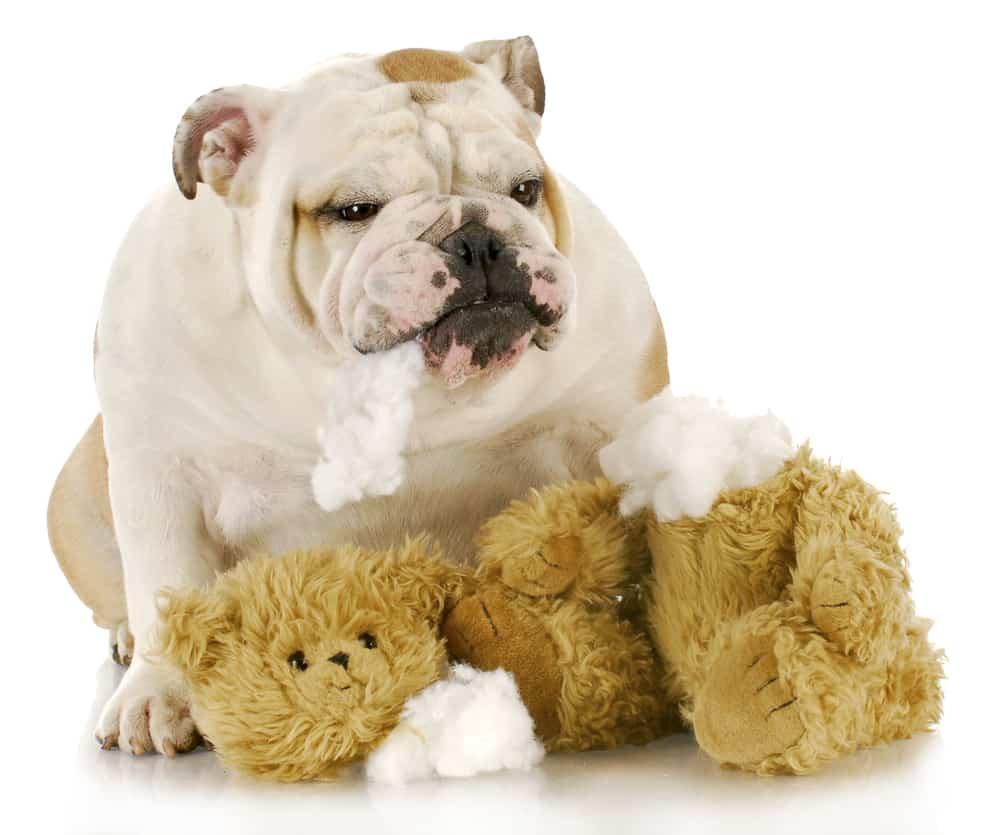 english bulldog ripping up toy