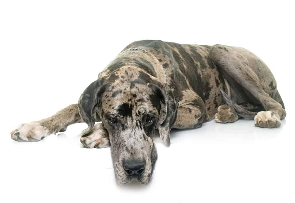 Great Dane resting