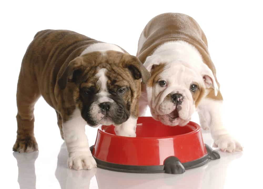 two nine week old english bulldogs puppies eating