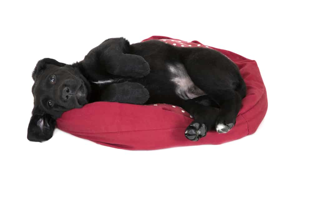 Black Labrador puppy laying in bed