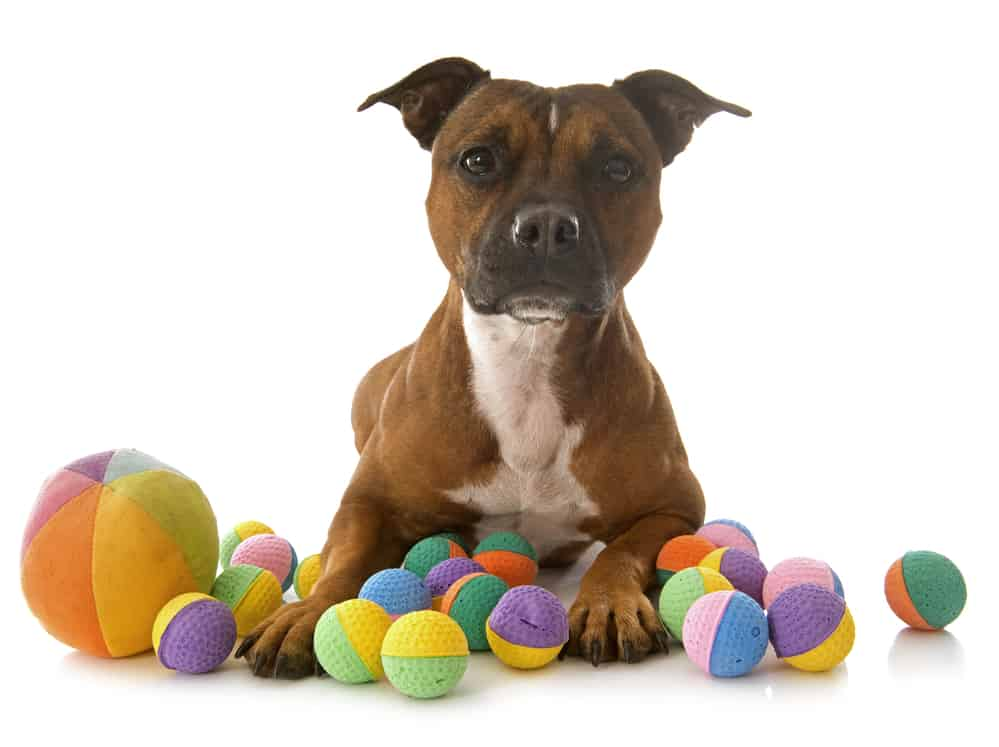 staffordshire bull terrier playing with toys