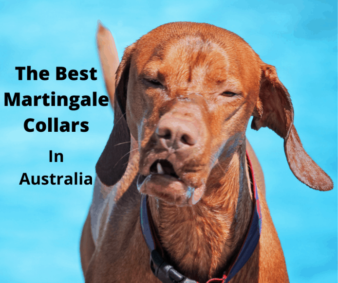 dog wearing a martingale collar