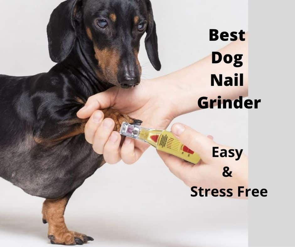 dachshund using a nail grinder