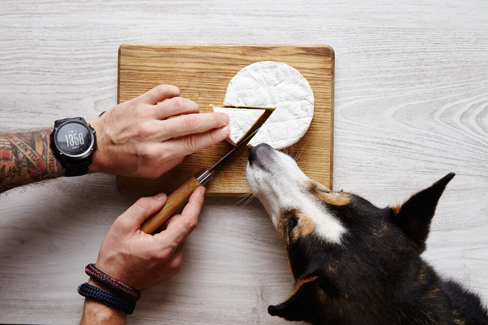 dog sniffing camembert cheese